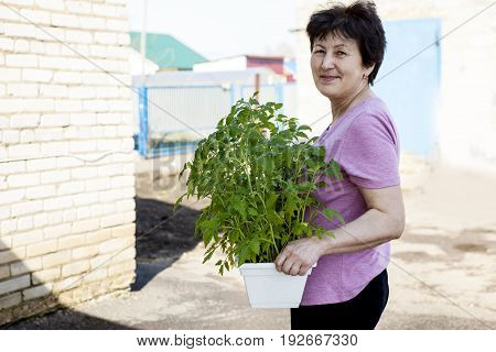 An elderly happy woman holding a container with tomato sprouts for transplanting in a garden in spring
