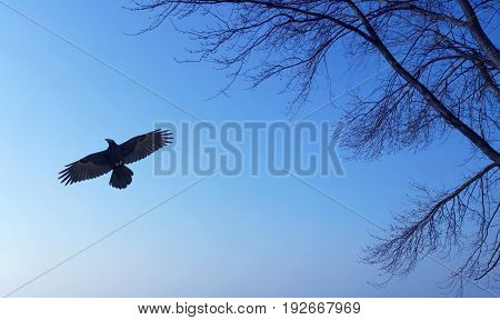 Raven on blue sky background with tree silhouette