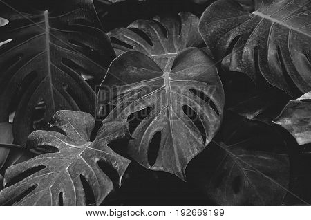 Low key, Leaves of Monstera plant growing in wild, the tropical forest plant