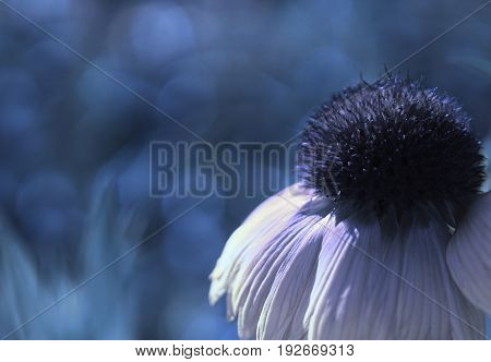 A white-blue flower on a blue blurred bokeh background. Close-up. Floral background. Soft focus. Nature.