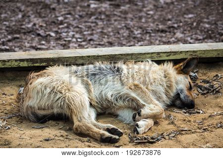 A homeless stray dog sleeps in a children's sandbox on the street