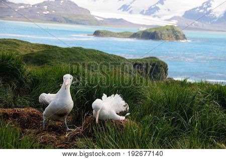 The largest bird of the southern ocean, the magnificent giant wandering albatross nests at south Georgia. The oftentimes form dedicated couples.