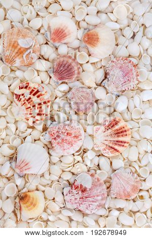 Seashell abstract background with small scallop and assorted white shells.
