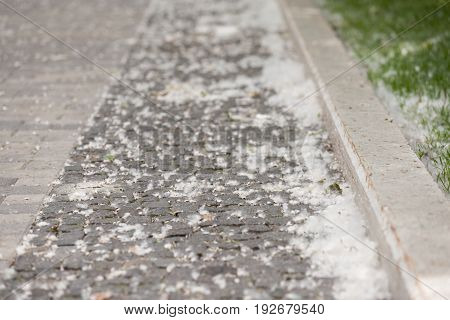 Poplar fluff on the road. Natural occurrence of pollen fall dawn in the city. Allergen for people.