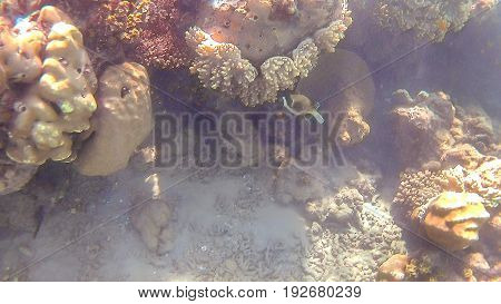 Kuzovka fish swim around a bright colored coral reef in the Red Sea in Hurghada Egypt sunlight waves under water.