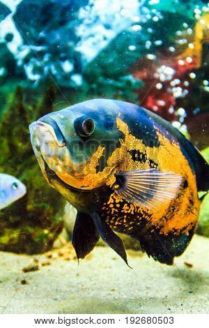 Oscar Fish (Astronotus ocellatus) - South American freshwater fish from the cichlid family. The underwater world. Bright exotic tropical fish.