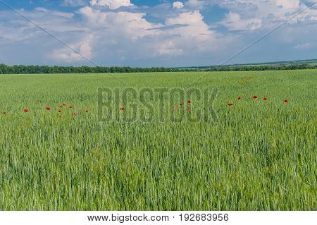 Ukrainian country landscape with unripe wheat field and wild plantation of red poppies inside