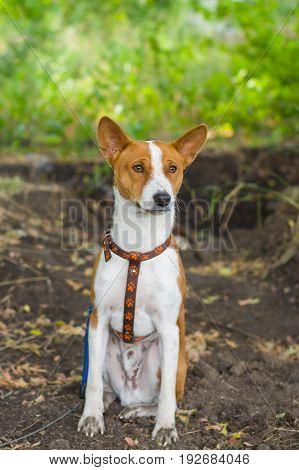 Cute basenji dog feels ok sitting on the dirty earth