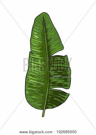 Banana green leaves . Vector illustration. Design element