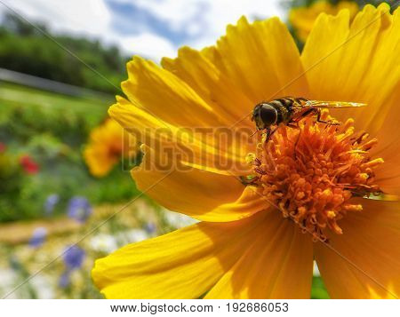 Hover fly on a bright yellow flower