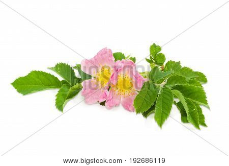 Branch of the dog-rose with two pink flowers close up on a light background