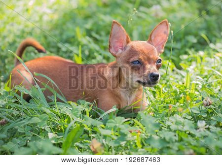 Russian Toy Terrier, Little dog playing in the grass