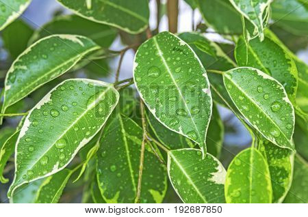 Close up of bright green leaves and water drops