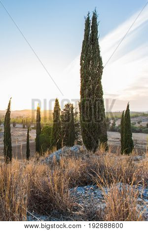Group of Cypress Trees on a Hill at Sunset, Tuscany, Italy