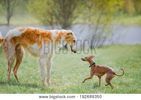 Russian borzoi dog with Italian Greyhound outdoor portrait