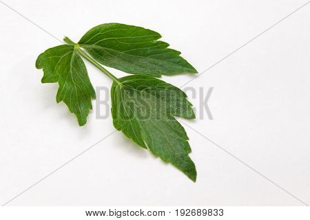 lovage leaf isolated on a white background. Sea parsley.