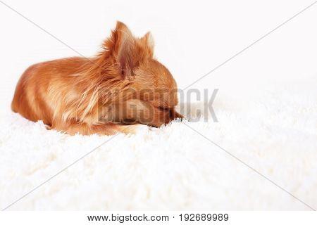 Cute ginger chihuahua a sleep on a white carpet