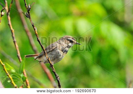 Bluethroat, bird, female. The Bluethroat is a bird of the family of thrush detachment  of passerine.