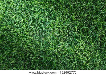 Natural green grass texture for golf course, soccer field or sports background concept design.