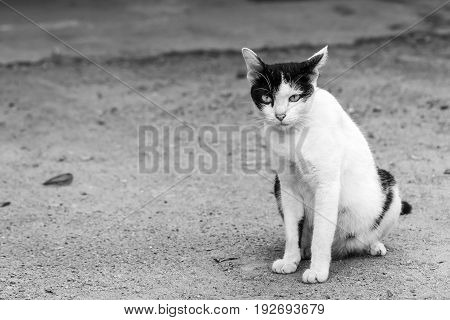 Thai cat yellow eye portrait. Black and white tabby cat is sitting on the ground.