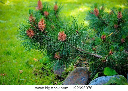Cedar branch with cones in the garden. Pine tree garden. Care for evergreen garden plants. Landscaping in the garden. Garden evergreen trees