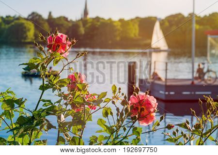 Rose in front of Alster on evening light with white sailboat and pier in background. Chilling atmosphere in Hamburg on weekend.