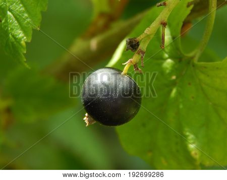 Picking berries of currant in the garden and vegetable garden