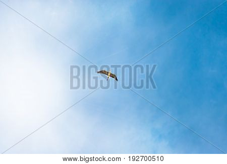 Gray heron, flying in the beautiful sky, freedom concept. Heron with backlit wings flying overhead against a blue sky.