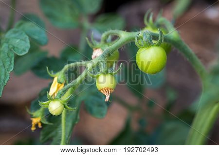 Green Immature Tomatoes. Agriculture Concept. Green Tomatoes Close Up. Branch Of Green Tomatoes Grow