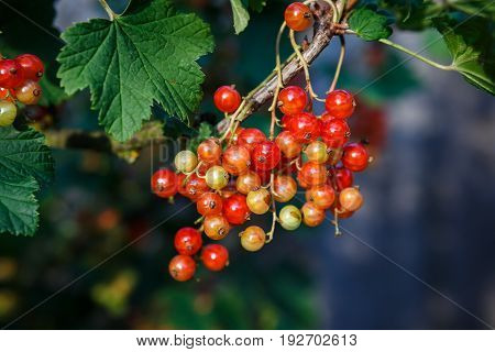 Ripe And Immature Redcurrant. Red Currant Berries On The Branch With Green Leaves.