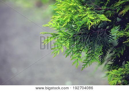 background with branches arborvitae thuja evergreen tree cypress border natural ornament selective focus