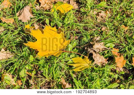 Golden autumn. Yellow maple leaf on green grass. Falling leaves in the Park.