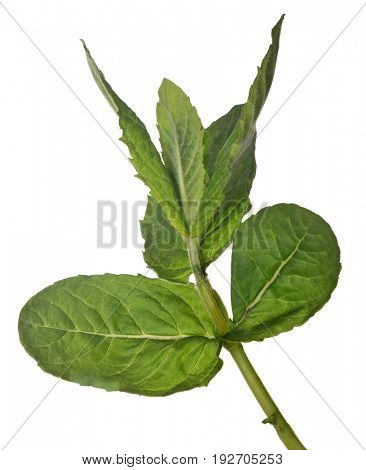 green peppermint branch isolated on white background