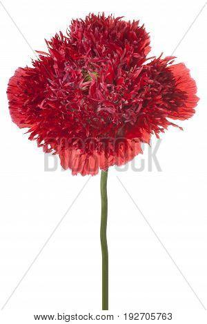 Poppy Flower Isolated