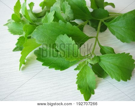 Bunch of sweet herb stevia leaves, Stevia rebaudiana