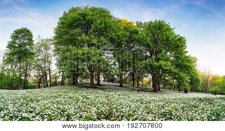 spring forest with blooming white flowers. Wild garlic