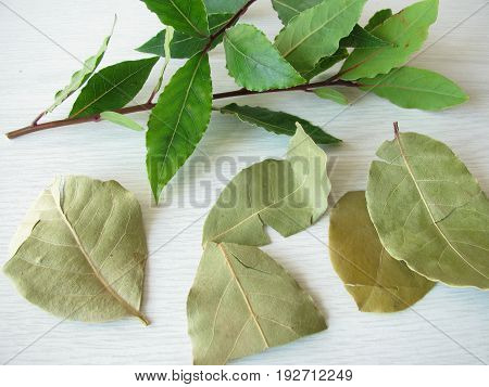 Fresh and dried bay leaves, Laurus nobilis