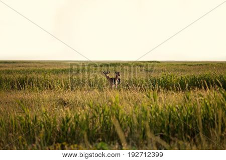 Roe deer in the steppe female and male roe deer wild animals Biruchiy Island Ukraine