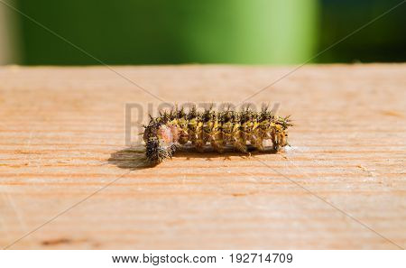 Hairy caterpillar crawling on the wooden surface of the table, shooting macro