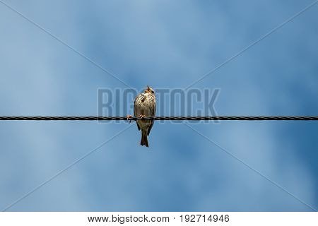 The bird sits on the wires and sings