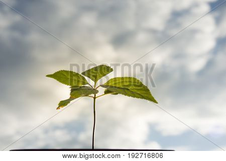 Small tree on cloudy sky background. Small green leave, thin stem, cloudy sky. Small bonsai in flowerpot.