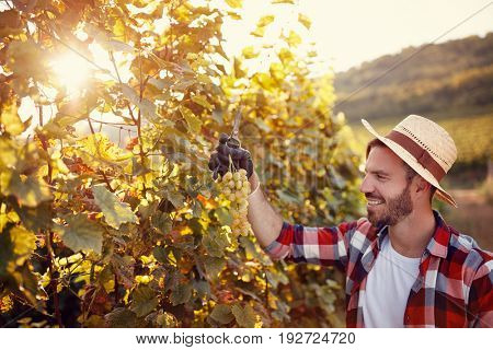 young man working in vineyard picking up ripe grapes during the grapes harvest