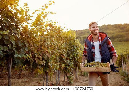 young smiling man picking white grapes in his vineyard