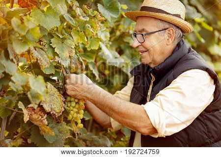smiling winemaker harvest the grape at his family vineyard