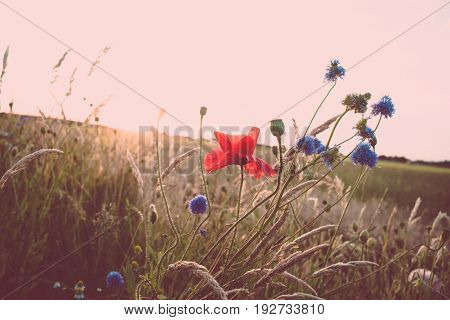 Poppies and cornflowers in the high grass of a Dutch dike with views over the meadows and fields. Photo with atmospheric summer evening and backlight that falls like a beam of light over the landscape