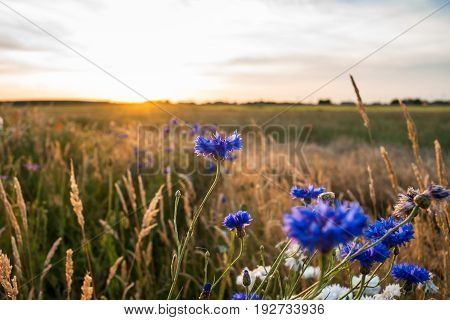 Blue and white cornflowers with bokeh floral nature background. Warm atmospheric sultry summer evening with backlight in the country side of the Netherlands