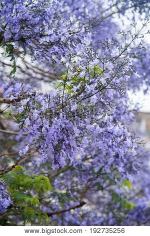 Jacarda tree blooming in spring at Lisbon Portugal