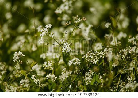 Beautiful White Tiny Flowers In A Natural Habitat In Summer