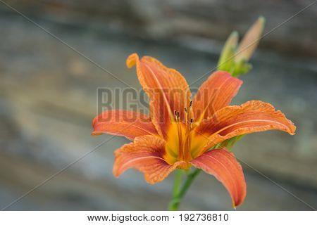 Orange Daylily (Hemerocallis fulva) against wooden background
