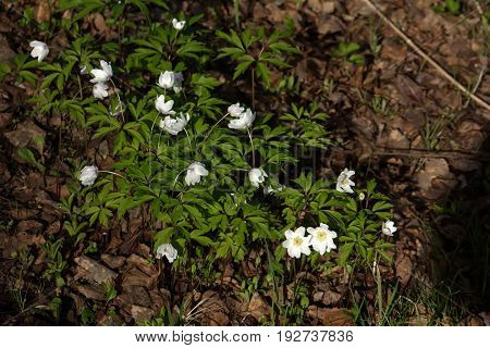 Anemone. The white flower of an anemone blossoming in the spring wood.